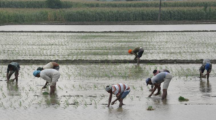 migrant workers, paddy field, Punjab news, Chandigarh news, Indian express news