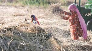 wheat, wheat crops, wheat procurement, wheat cultivation, indian express
