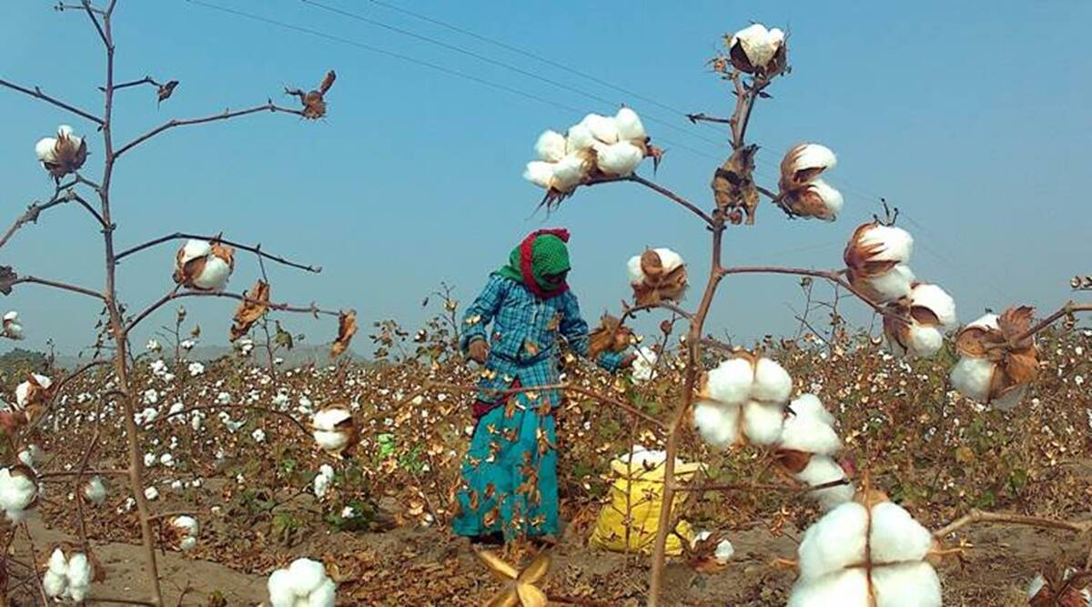 Maharashtra Cotton farmers, pink bollworm, Pune news, Maharashtra news, Indian express news