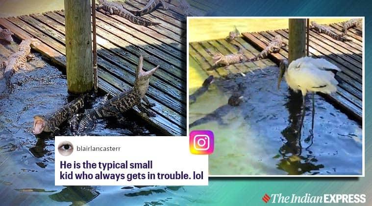 Alligators, Stork, Alligator stork fight, Baby alligator video, Wood stork video, Florida, Orlando, Gatorland, Trending news, Indian Express news