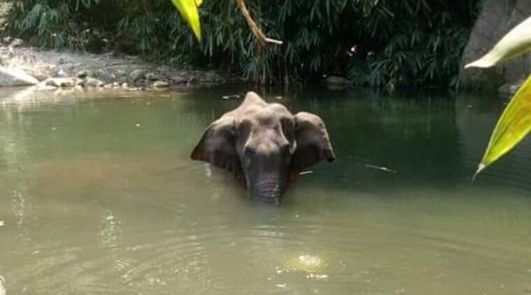 kerala elephant death, kerala news, pregnant elephant death, fruit laced with explosives, pachyderm to kill boars, indian express