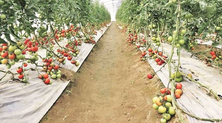 Maharashtra: Authorities nod to horticulture insurance protection device for three years thumbnail