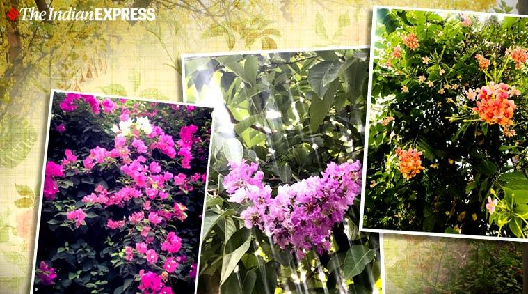 flowers, flowers during lockdown, Peeli Gulmohur, madhumalti, indian express lifestyle