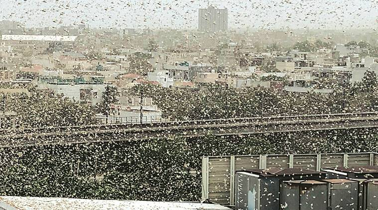 Locust attack, locust swarm, Delhi news, Gurgaon news, Indian express news