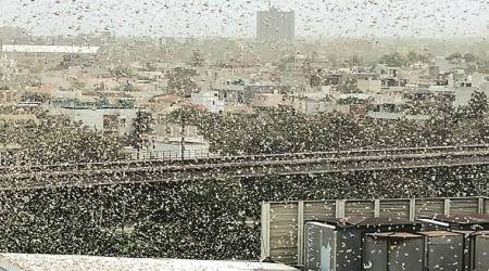 Locust attack, locust swarm, Delhi news, Gurgaon news, Indian express news