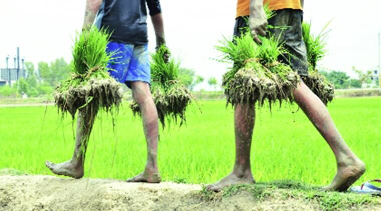 More farmers seek to shun paddy, Haryana eyes 12% water savings