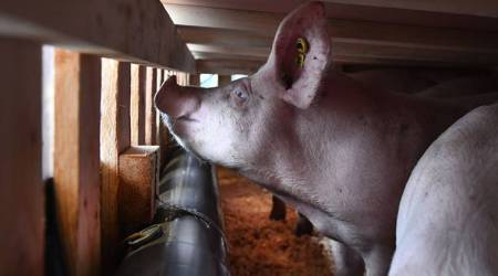 pigs transported on plance to china, pigs flown from france to china, coronavirus lockdown, coronavirus lockdown impact, african swine fever