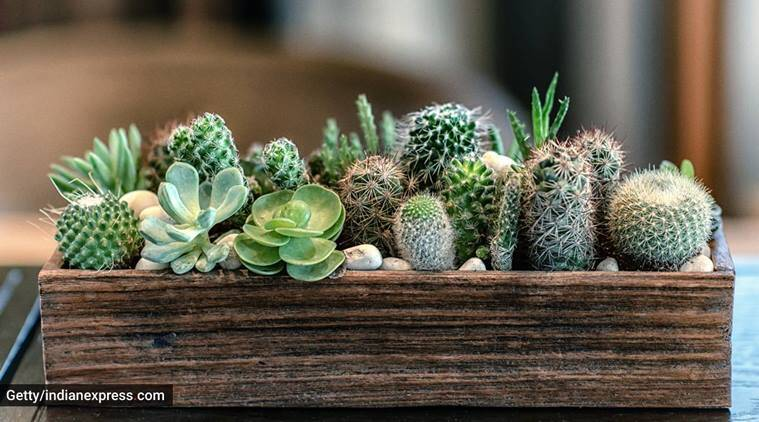 succulents, succulents tips, succulents care, succulents health , how to grow succulents in India, indian express news