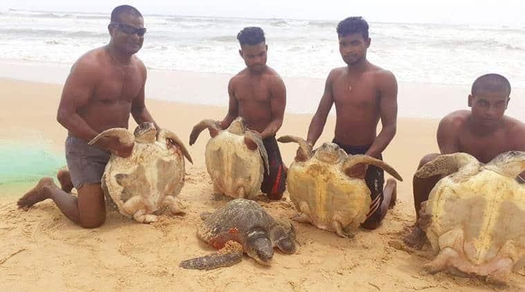 goa turtles released