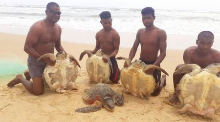 WATCH: Caught in fishing nets, Goa fishermen release Olive Ridley turtles