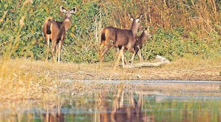 Gir forest, Asiatic lions, wildlife trackers, lion society meet, Gujarat news, Indian express news