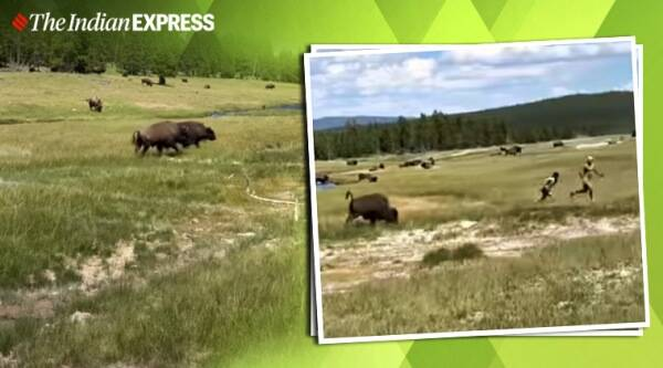 bison charges woman vial video, Yellowstone National Park, viral video, trending, indian express, indian express news