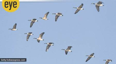 Ranjit Lal, Down in Jungleland, bird wing, bird flight, murmuration, alula, bastard wing, eye 2020, sunday eye, indian express news