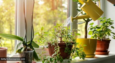 how to take care of potted plants, caring for plants in monsoons, indian express, indian express news