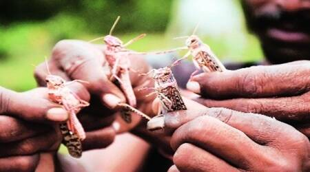 Haryana, Locust, Haryana Locust