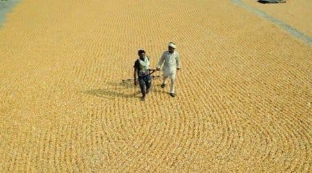 Punjab Farmers, Maize, Maize Cultivation
