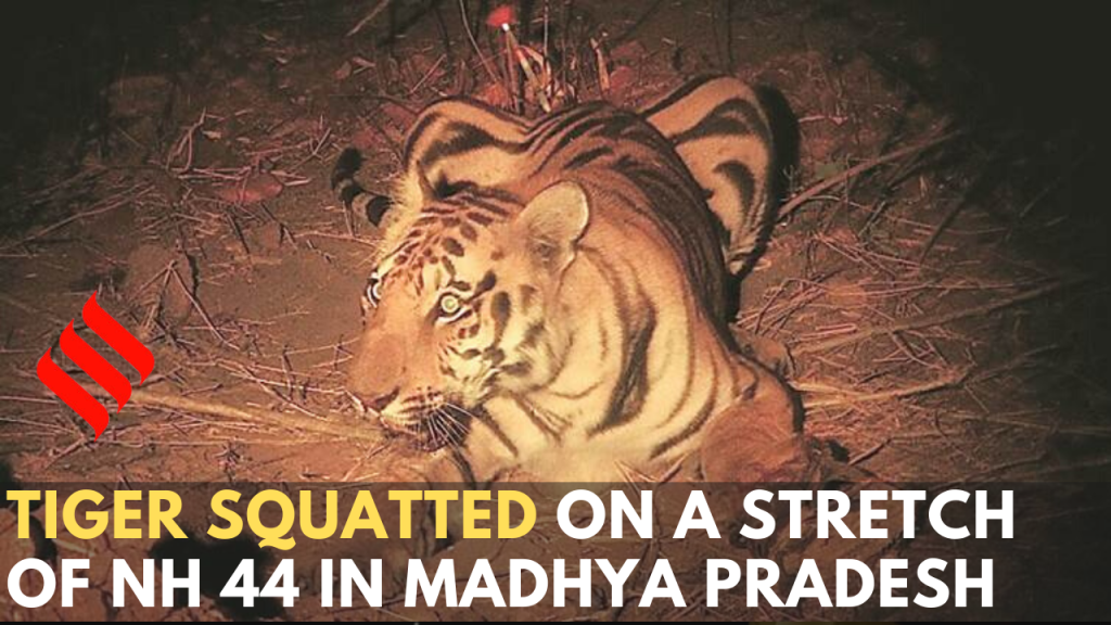 Tiger squatted on the NH 44 in MP, eventually guided into the forest.