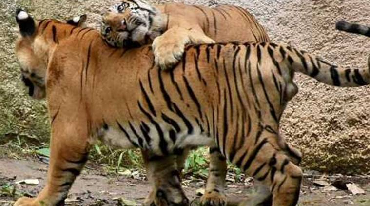 'First-ever' reunion bid of tigress, cub based on DNA match called off