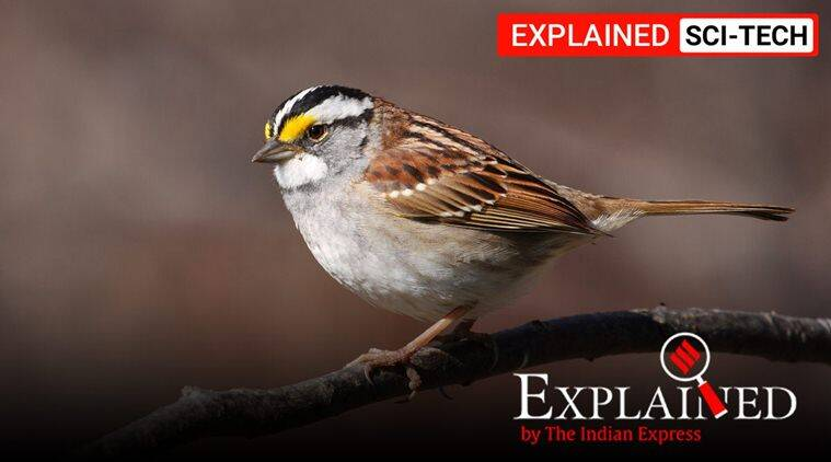 Explained: What is causing sparrows in North America to change their song? - The Indian Express