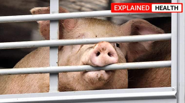 african swine fever, african swine fever explained, african swine flu, Coronavirus, COVID lockdown, african swine fever in Assam, Assam news, Indian Express