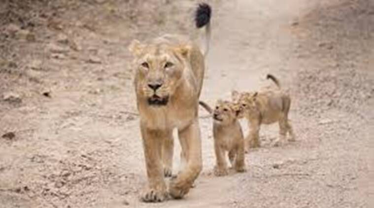 ASIATIC lion, gir wildlife division, asiatic lio cubs, asiatic lion cubs found dead, asiatic lion cubs found dead in a well, indian express news