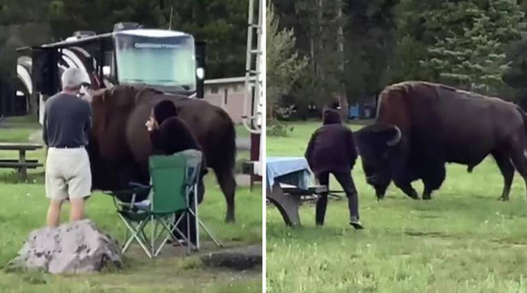 yellowstone national park, bison gorge woman, woman tries to take photo bison, bison attack after woman goes too close, viral videos, indian express