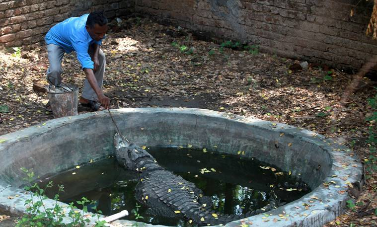 Sayajibaug zoo,  Sayajibaug zoo crocodile,  Sayajibaug zoo jawless crocodile,  Sayajibaug zoo crocodile hand fed, indian express news
