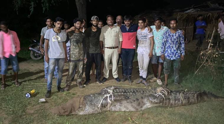 Vadodara forest department, Vadodara forest department crocodile, Vadodara 36 feet long crocodile, crocodile kills woman in Vadodara, India news, Indian Express