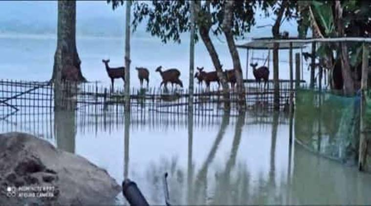 Assam floods, assam flood death toll, assam flood news, kaziranga national park flood, kaziranga animals dead flood, assam news, indian express