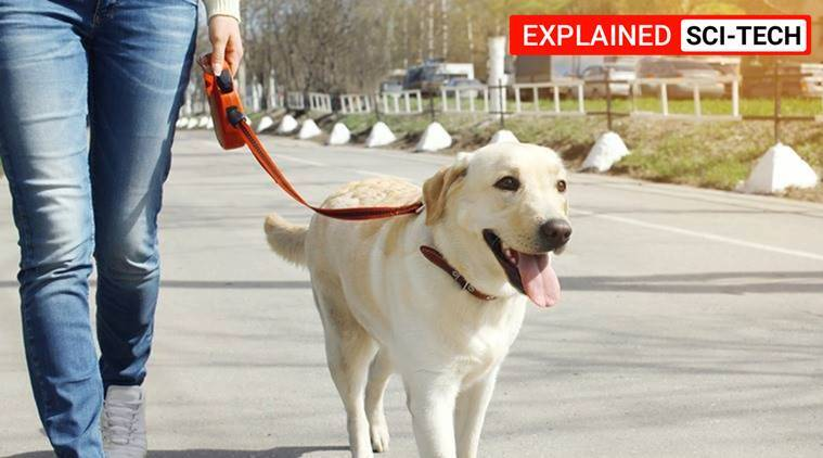 dog age in human years, how old is my dog, dog age comparison, labrador age, dog age explained, how to calculate dog's age, indian express explained