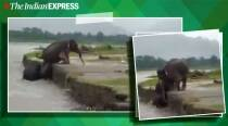 Watch: Elephant helps struggling calf climb out of flooded river in Assam