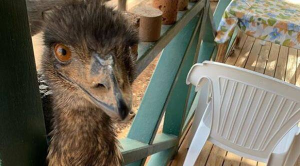 emu banned from pub in Australia, emu stealing pub viral picture, bizarre story, trending, indian express, indian express news