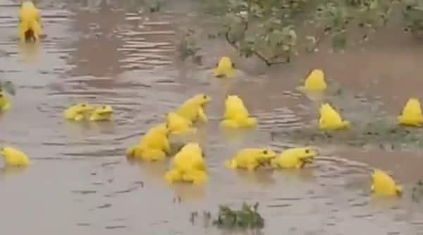 yellow frogs viral video, indian bullfrog seen at Narsighpur viral video, trending, indian express, indian express news