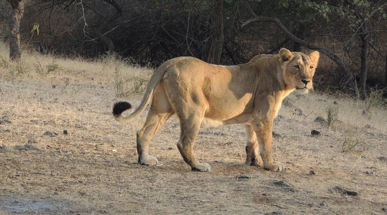 Asiatic lions. asiatic lions in gujarat, asiatic lioness, sick asiatic lioness dies, sick asiatic lioness dies on the way, indian express news