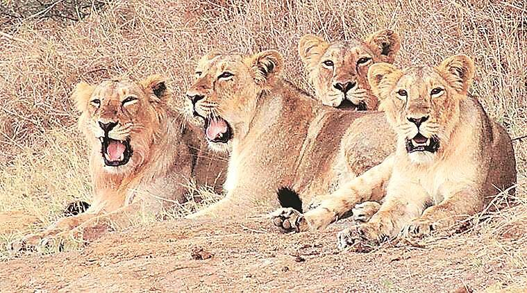 Asiatic lions, Asiatic lions death, Gir forest, Asiatic lions death reason, asiatic lions canine distemper virus. asiatic lions dead of canine distemper virus, indian express news