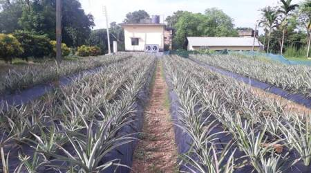 Tripura pineapple cultivation, tripura state fruit, queen pineapple Tripura, Indian Council for Agricultural Research, new pineapple cultivation method ICAR, tripura news, indian express