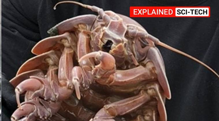 Explained | Raksasa cockroach from the deep: the stuff nightmares are made of