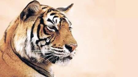 741 tigers gained, 4685 sq km of tiger forest lost: Report