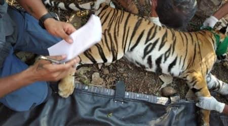 tigress death, rescue centre, Maharashtra Forest department, Nagpur news, indian express news