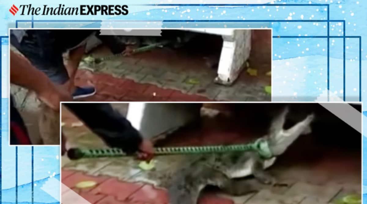 Crocodile, Gujarat, Vadodara, Crocodile sighting, Crocodile video, Crocodile rescue, Viral video, Trending news, Indian Express news