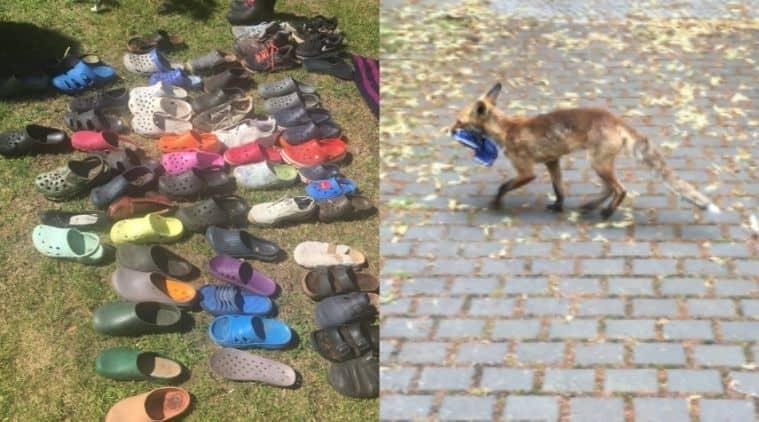 Berlin, Fox steals footwear, Fox, Trending, Indian Express news