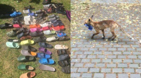 Berlin, Fox steals footwear, Fox, Trending, Indian Express news