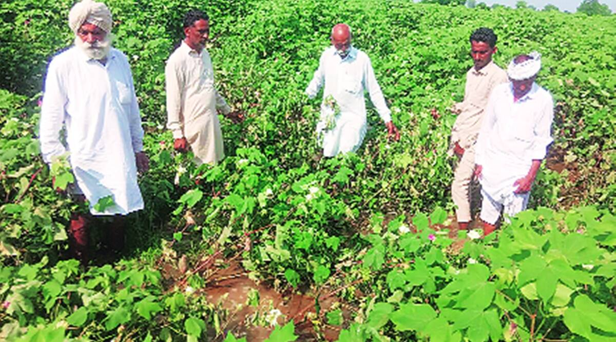 Cotton Crop In Peril In Abohar Damage Acreage Likely To Rise India News The Indian Express