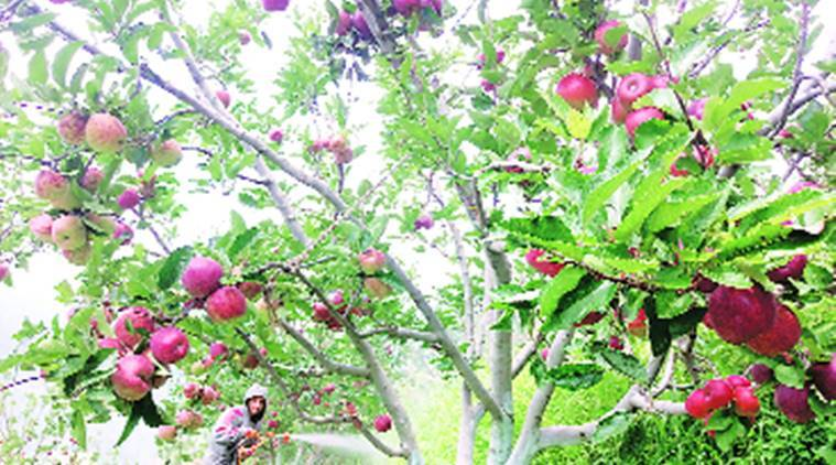 Apple growers, apple production, Shimla news, HP news, Indian express news