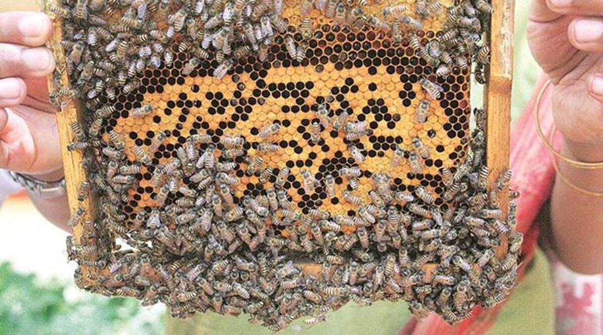 covid in india, covid pandemic, beekeeping, beekeeping training, beekeeping training online, indian express news