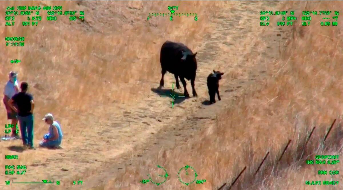 cow chase helicopter rescue, angry animal couple, mother cow charge couple, california cow chase couple, odd news, viral news, indian express