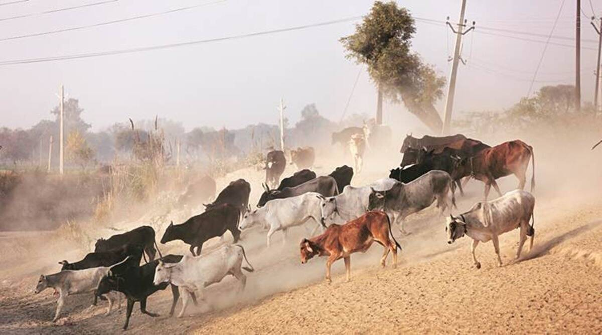 haryana wild animals, haryana wild animals prawl, haryana wild animals live stock attack, haryana forests, indian express news
