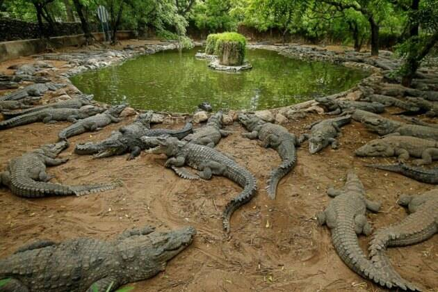 madras crocodile bank, coronavirus lockdown, chennai crocodile bank, madras crocodile bank photos, mahabalipuram, india news, indian express