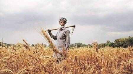 Crop diversification, Haryana farmers, Cotton growers, Chandigarh news, Indian express news