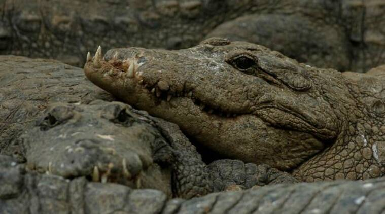 madras crocodile bank, coronavirus lockdown, chennai crocodile bank, madras crocodile bank photos, mahabalipuram, india news, indian express
